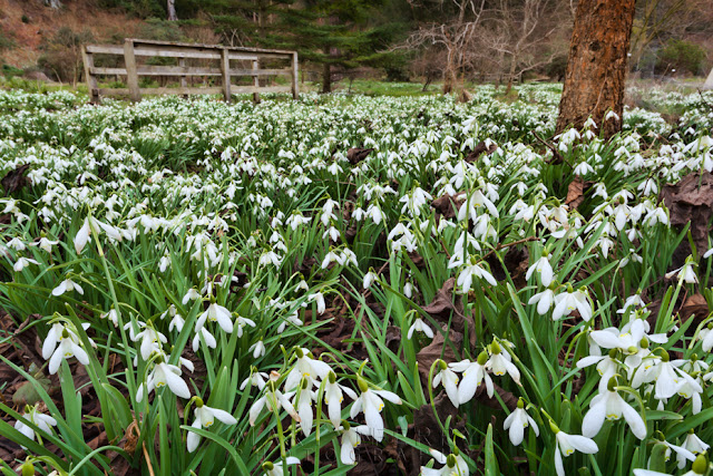 Snowdrops at Howick Hall by Martyn Ferry Photography