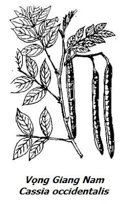 Hình vẽ Vọng Giang Nam - Cassia occidentalis - Nguyên liệu làm thuốc Nhuận Tràng và tẩy