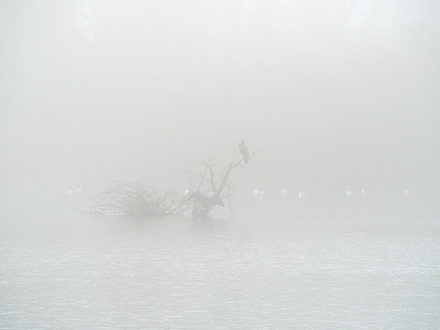 Vaguely discernible in fog, a cormorant on a branch with gulls in the background