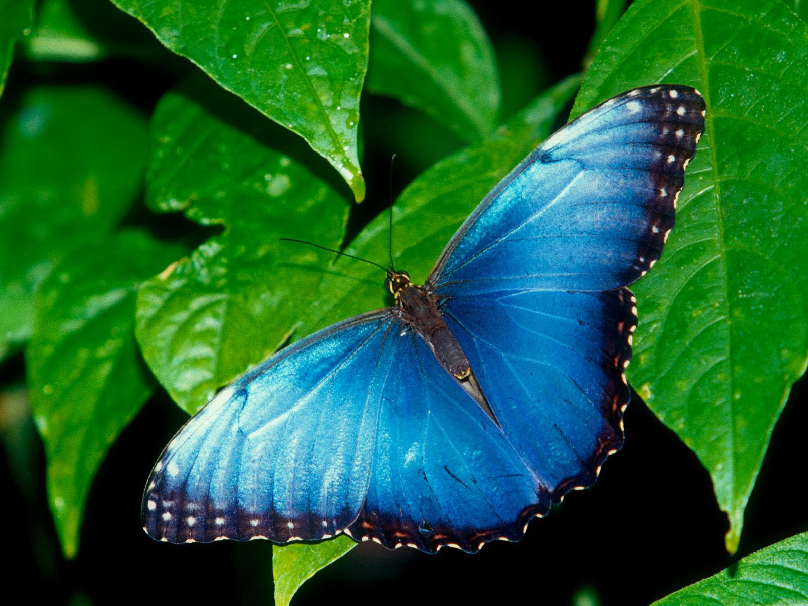 gambar kupu-kupu biru