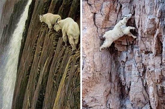 Cabras Alpinistas das montanhas rochosas - Cabra Aranha