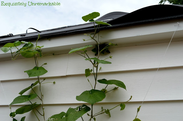 Morning Glories On Garage Roof