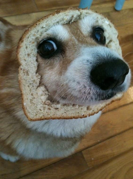 כלבת קורגי עם פרוסת לחם על הפרצוף