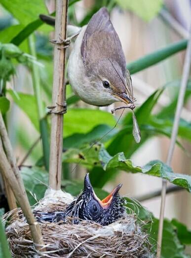 Tak Hanya Kejam, Burung Kedasih Juga Mempunyai Mitos Yang Menyeramkan