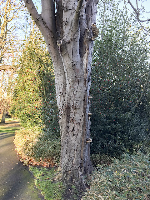 Fungi on a Horse-chestnut tree.  The Knoll, Hayes, 14 December 2016.
