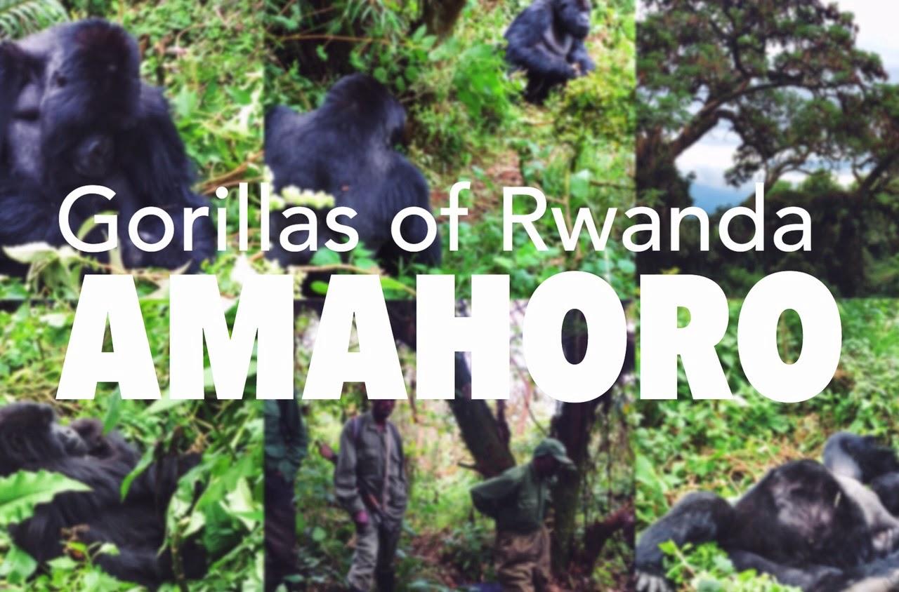 amahoro mountain gorillas volcaoes national park rwanda africa