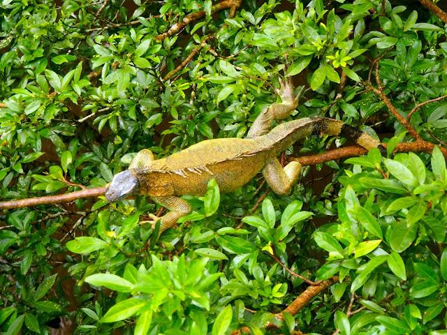 Iguana in Caño Negro, near La Fortuna & Arenal, Costa Rica