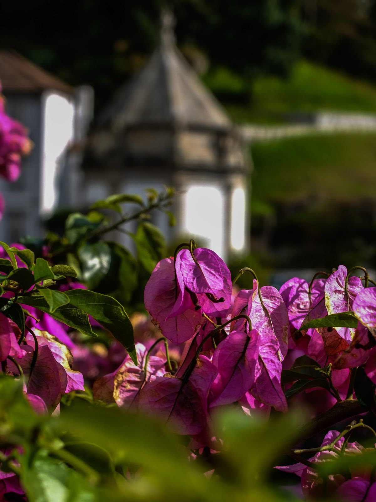 Pink flowers in the Bom Jesus do Monte Sanctuary in Braga, Portugal.