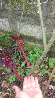cây hoa hồng leo hải phòng