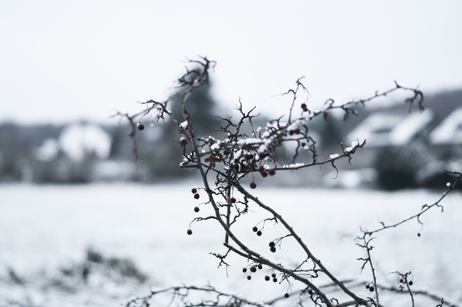 Blog + Fotografie by it's me! - Draussen - Frau Frieda sucht Schnee, Schnee auf einem Zweig mit roten Beeren