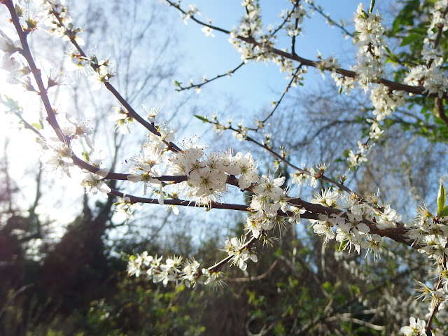 Blackthorn blossom leaning over into my back garden