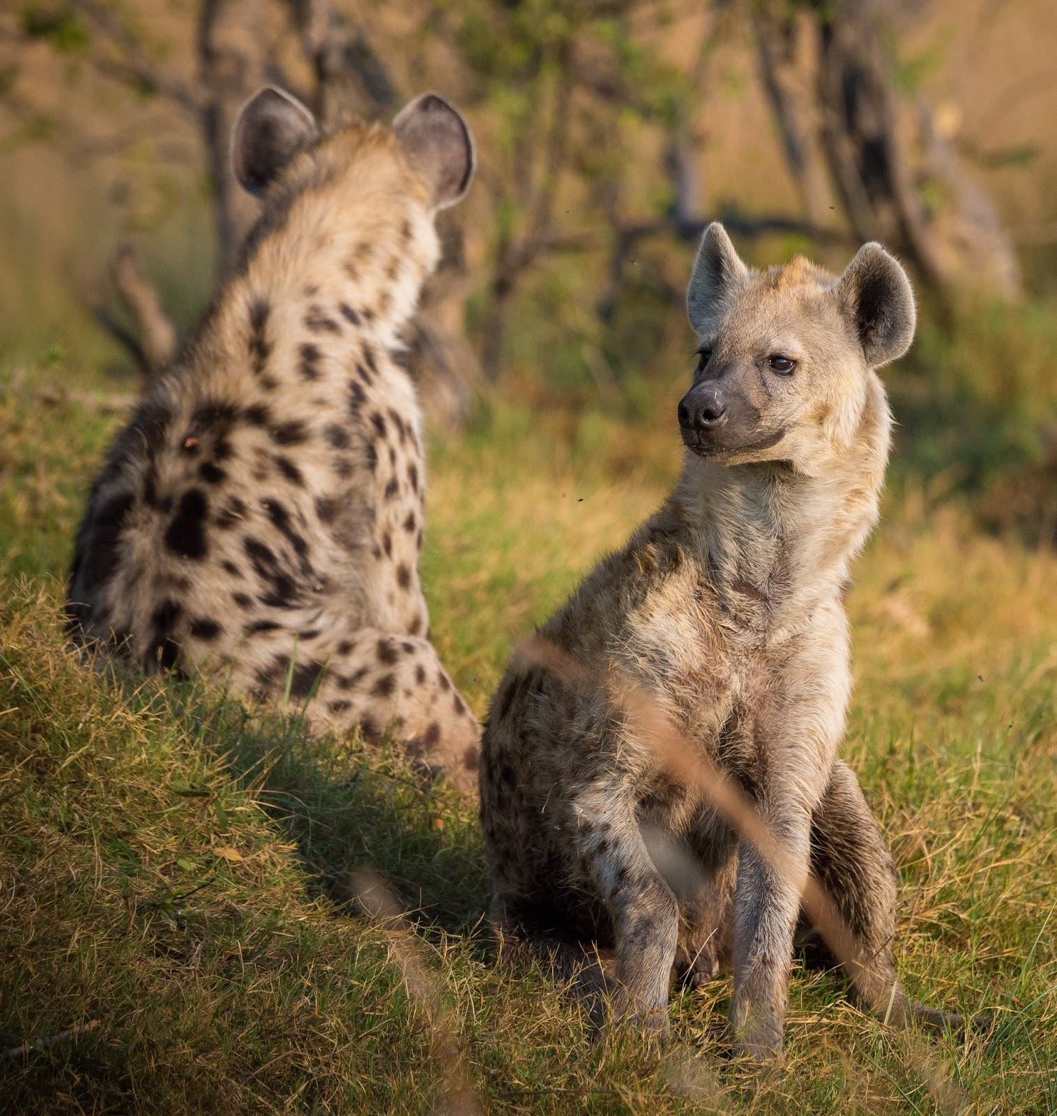 Picture of two hyena's.