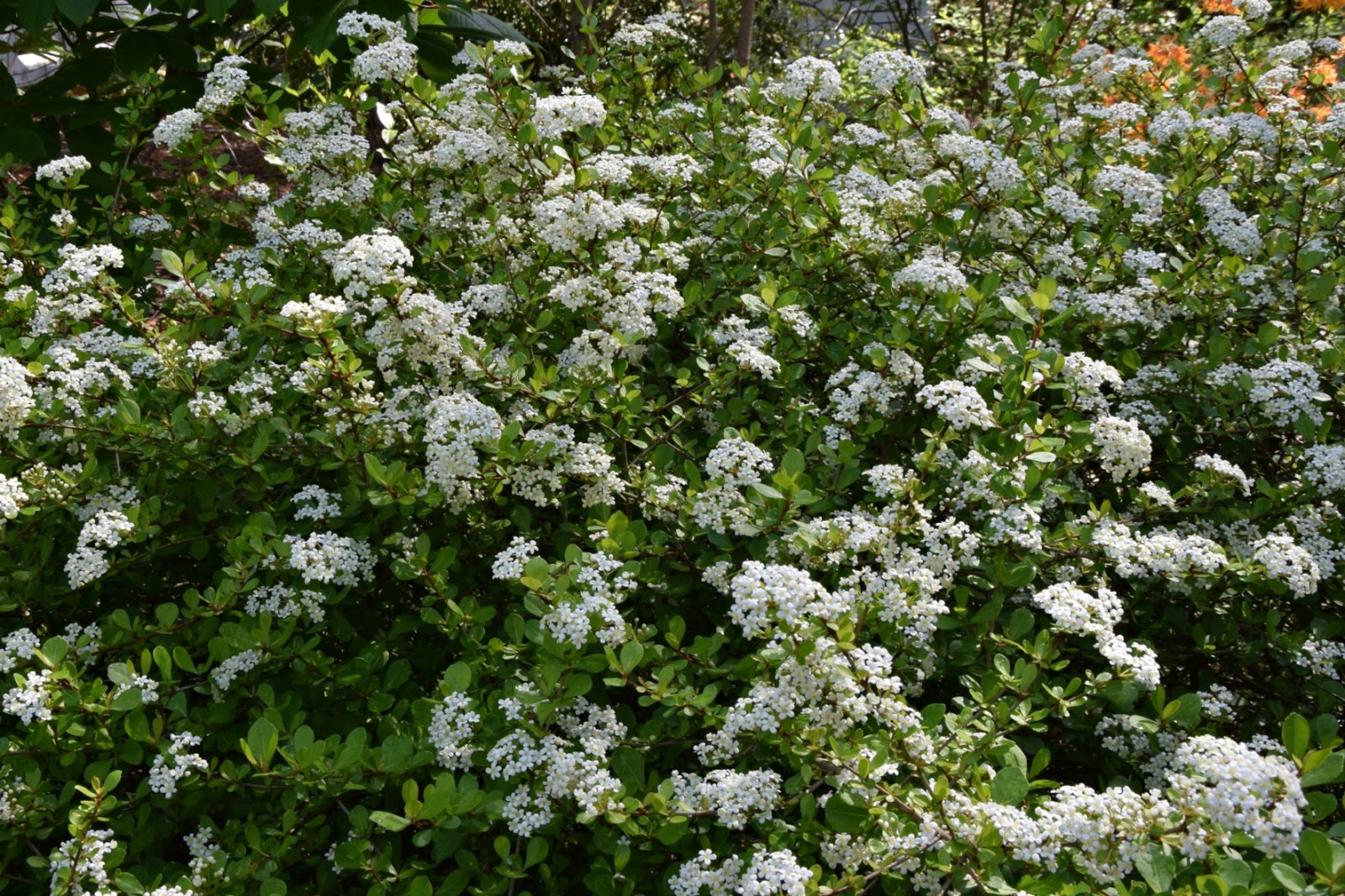 Hedge Bushes: Using Georgia Native Plants: Native Shrubs For Supporting
