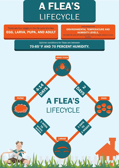 life-cycle-fleas-how-to-kill-and-get-rid-of-fleas