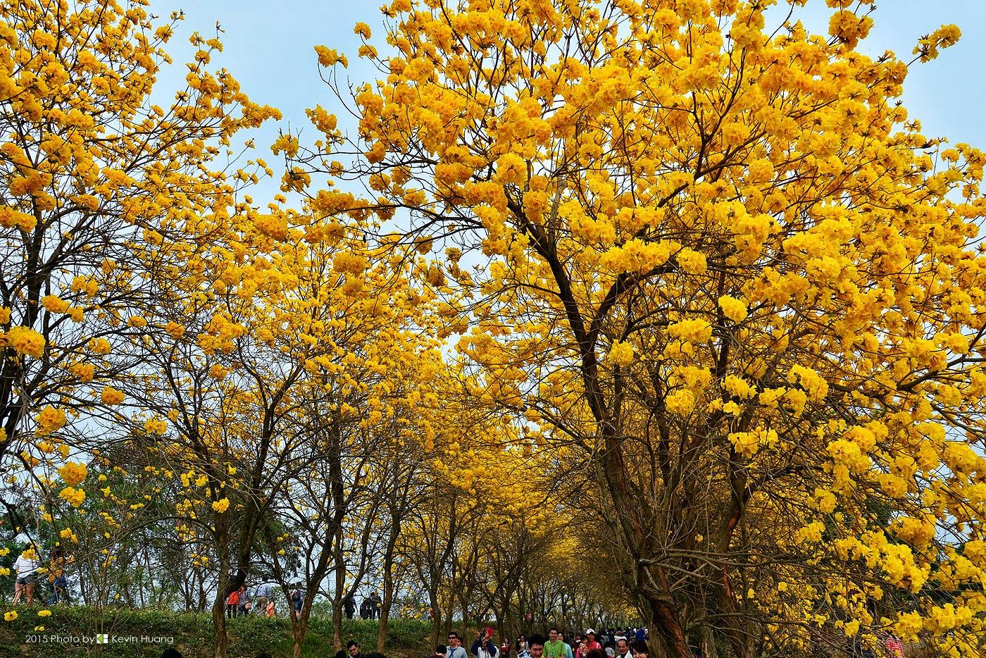 黃金般的幸福~黃花風鈴木