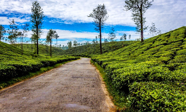 Landscape photo - Valparai, Mudis route - Tea plantation road