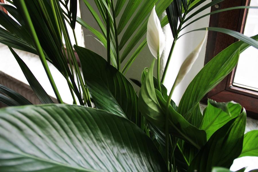 zimmerflanze