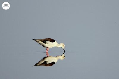 Cigüeñuela común - Himantopus himantopus