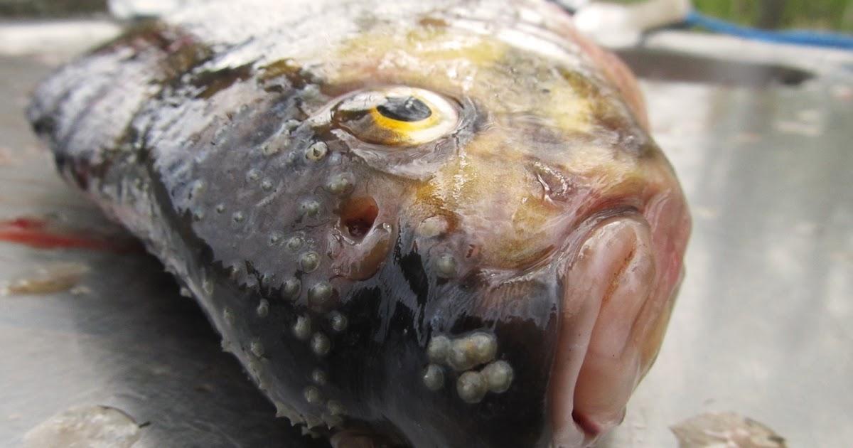 Kalan Suomustaminen
