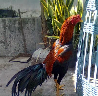 Gambar Lintah Darat Farm Warna Ayam Laga Wiring Kuning Gambar Jago di  Rebanas - Rebanas