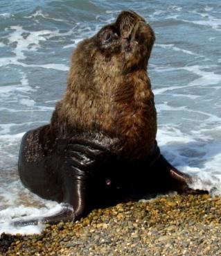 Foto de un lobo marino macho en el agua