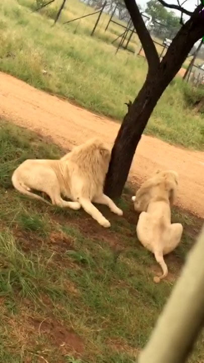B-red plays with lion cubs in South Africa