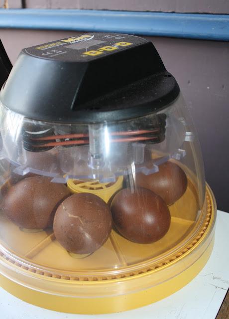 maran eggs in incubator