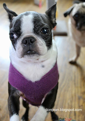 Sinead the Boston terrier listening to commands