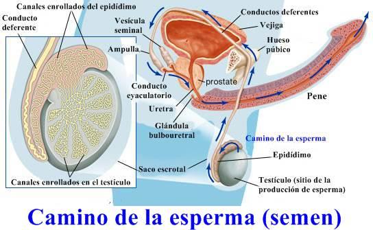 Estructuras involucradas en la producción y transporte de semen.