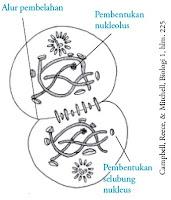 tahapan telofase kariokinesis