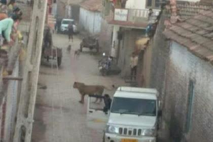 Singa Berburu di Desa, Penduduk Dibuat Panik