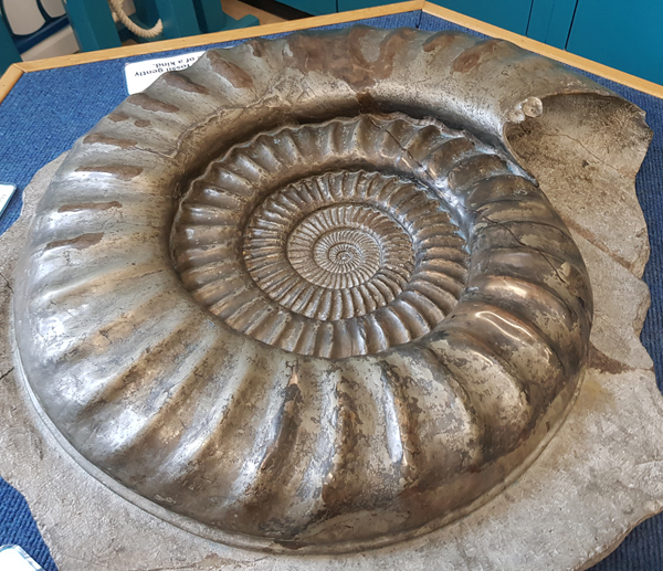 Ammonite fossil at Charmouth Museum