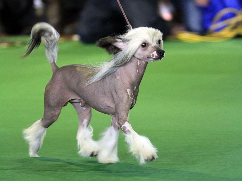 Chinese Crested Hairless - Dog Breeds - Neat-Pets ( Dogs ...