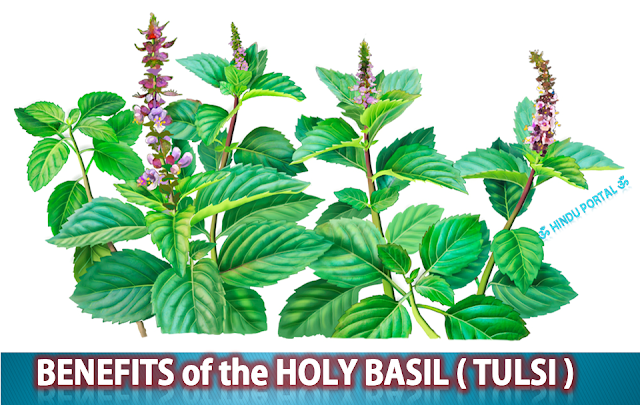 15 Health Benefits of Holy Basil (Tulsi)
