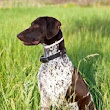 Cute Dogs|Pets: German Shorthaired Pointer and Labrador mix