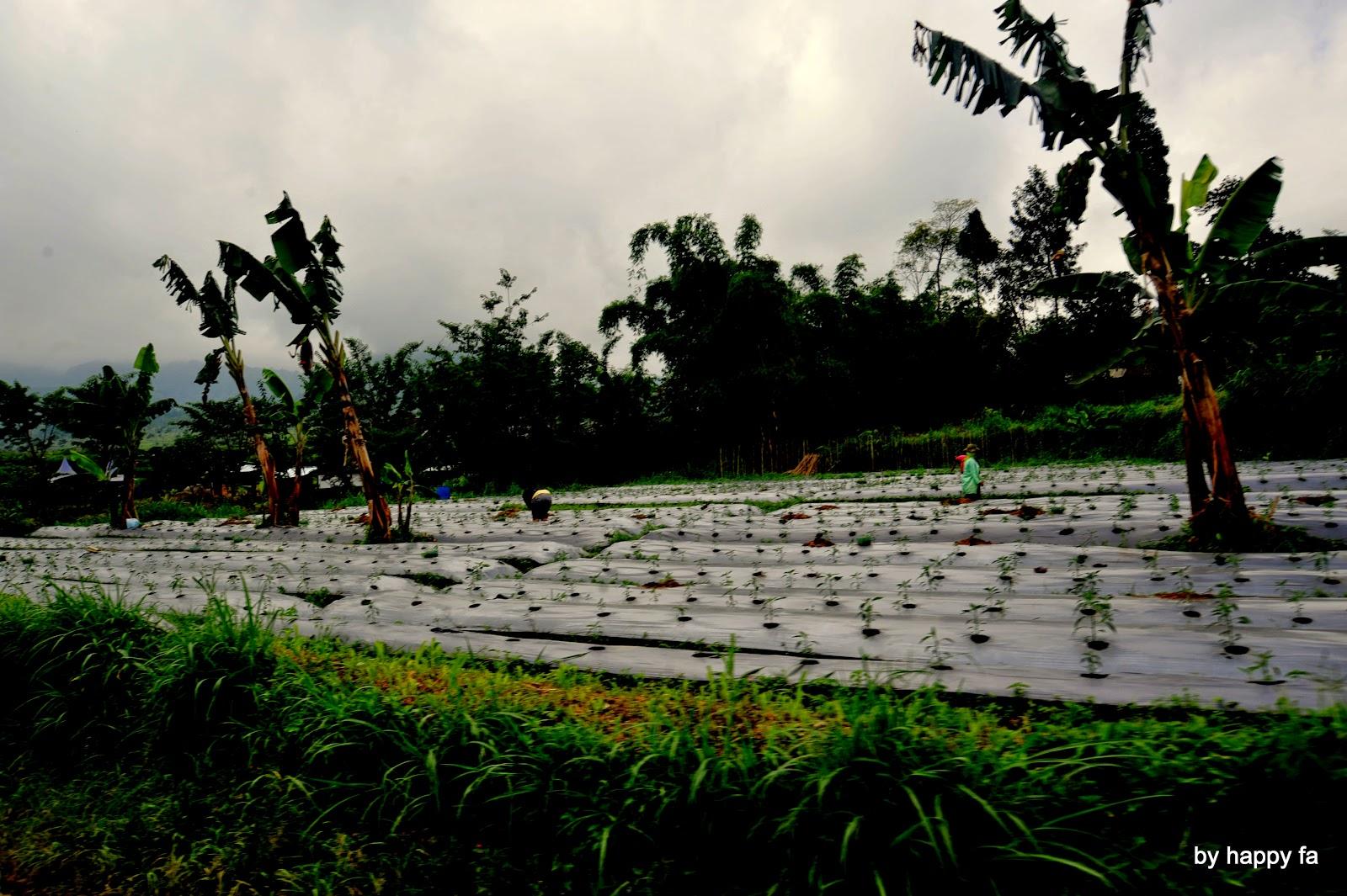 Wisata Agropolitan, Desa Bremi, Probolinggo