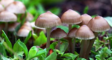 Cogumelos com psilocibina podem ajudar usuários viciados em cocaína a parar?
