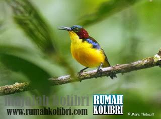 Kolibri endemik sulawesi