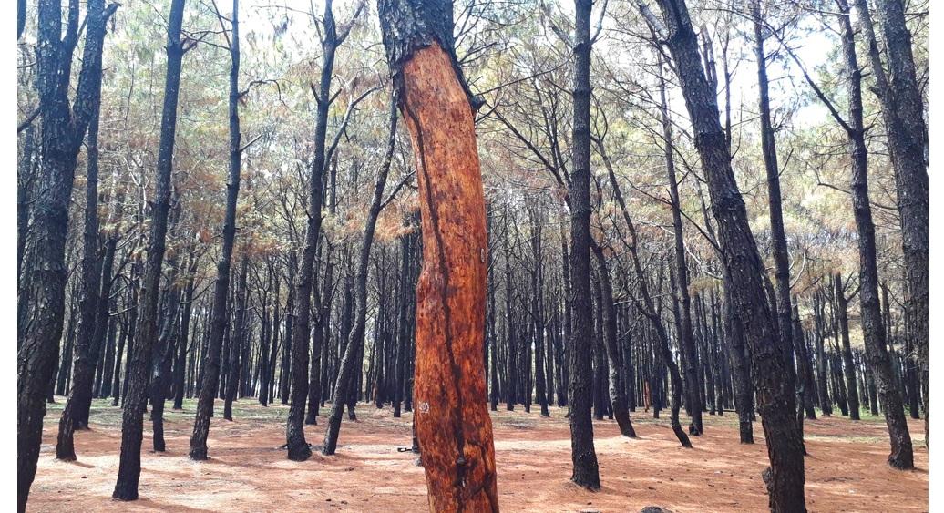 Róc vỏ gần 1000 cây thông ở Gia Lai để… chơi lan ?