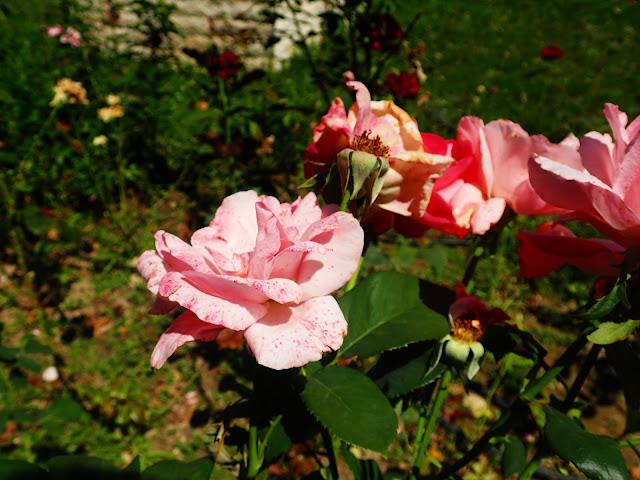 W kazanłyckim rosarium