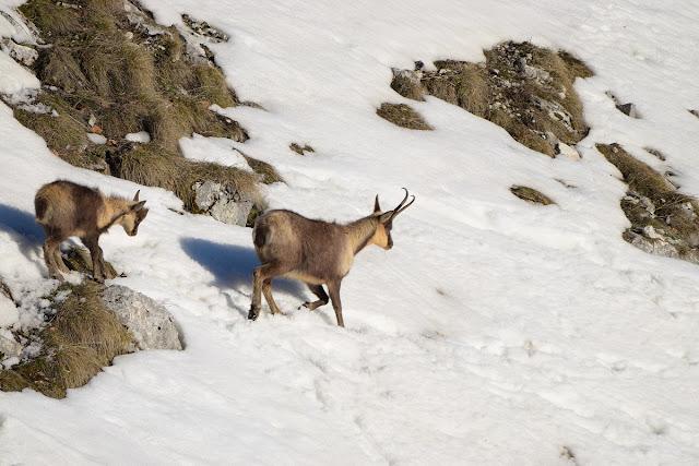 Camosci su neve