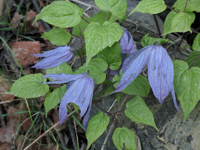 Western Blue Virginbower Clematis at Silver Lake Flat American Fork Canyon