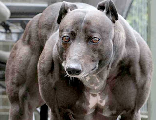 https://blogmuscle.wordpress.com/2007/07/13/wendy-the-whippet-a-mutant-double-muscled-dog-has-internet-abuzz/