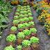 Gemüsebeet anlegen: Das 1x1 des Küchengartens