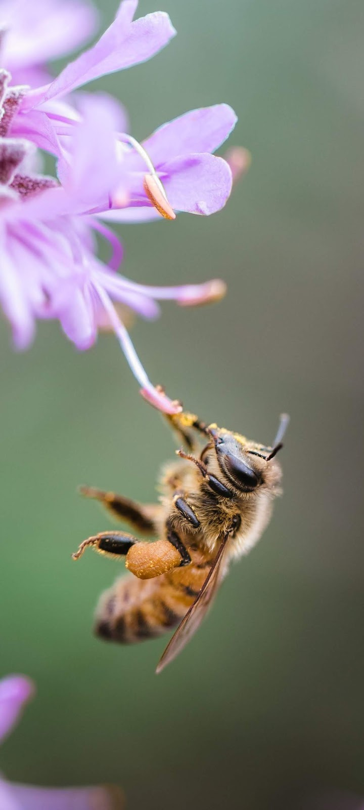 A bee on a stamen.