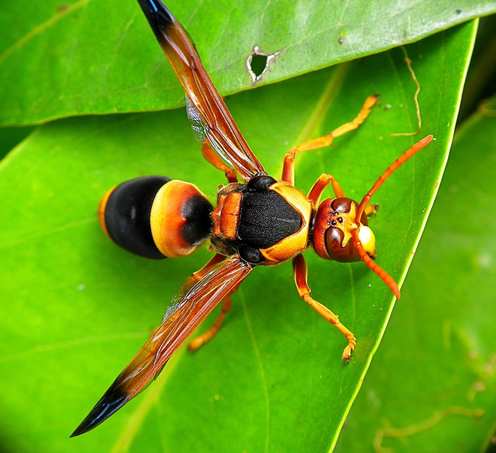 giant hornet sting
