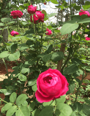 Hoa hồng 5