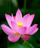 21 Interesting Facts about 'Lotus' in English