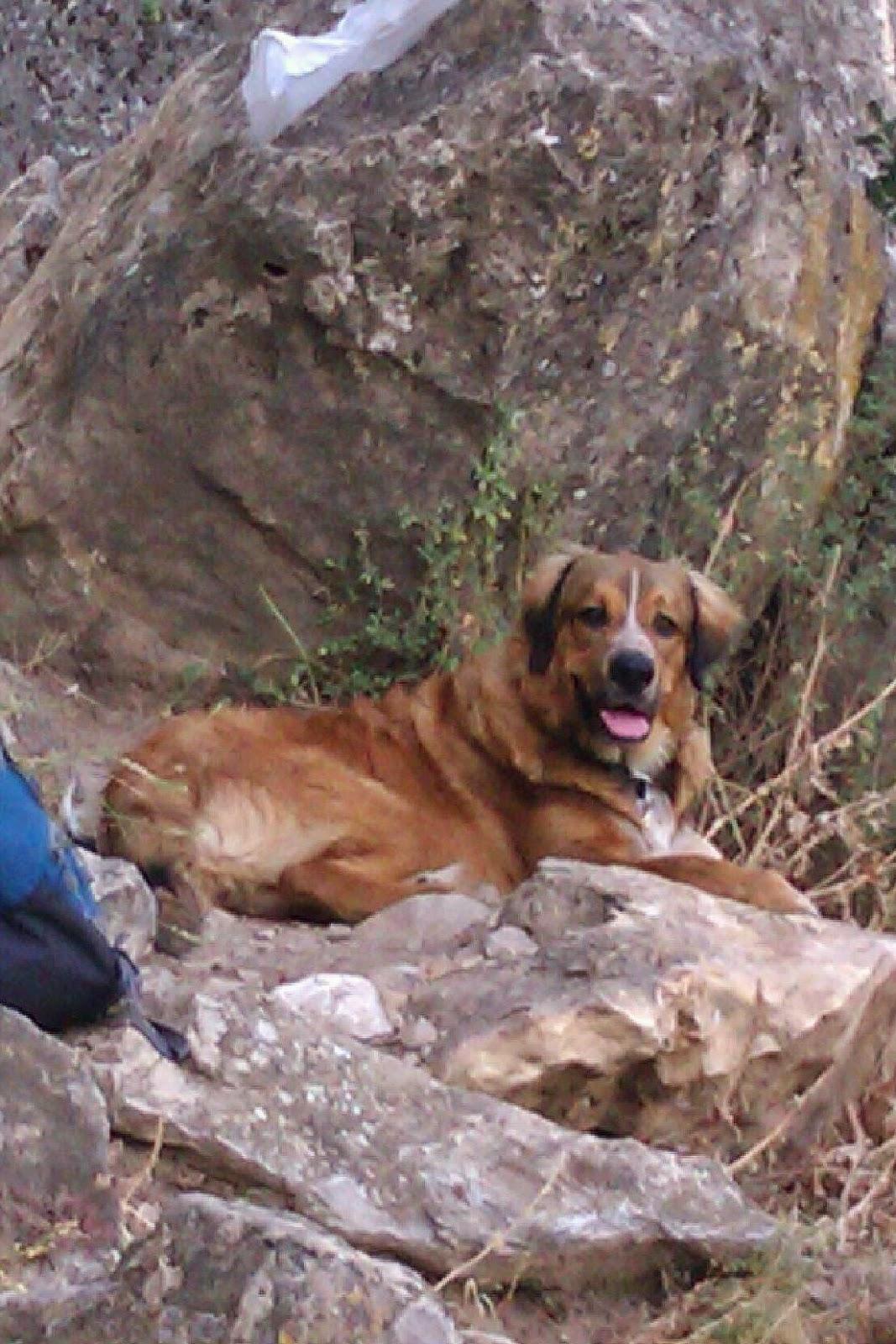Pancho, cachorro de mastín de paseo por la sierra