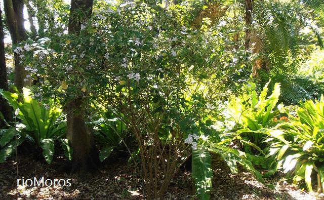 Campana de bosque, campana de monte Mackaya bella